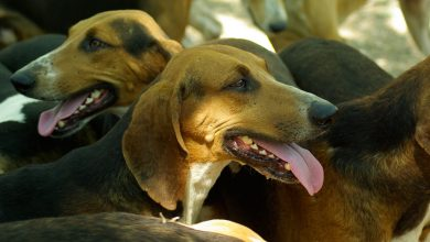 Photo of Άρχισαν οι κλοπές των κυνηγετικών σκυλιών