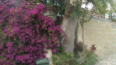 Photo of Δηλητηριάζουν δέντρα στην Τραχυπέδουλα