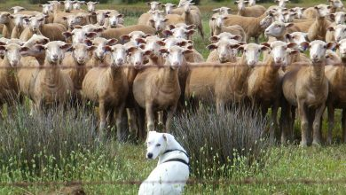 Photo of Θα αποζημιωθούν οι ιδιοκτήτες των κτηνοτροφικών μονάδων στις οποίες υπήρξαν απώλειες λόγο καταρροϊκού πυρετού.