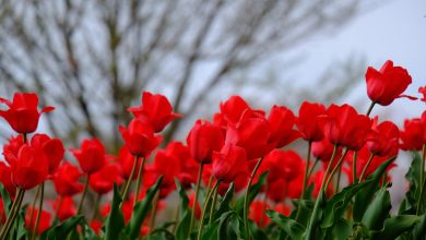 Photo of Λουλούδι του Απρίλη η Τουλίπα