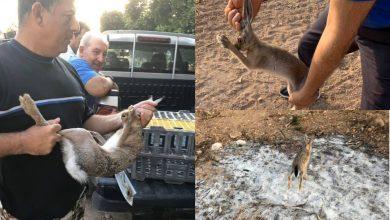 Photo of Ο Κουτσανγκάς Πεγειας απελευθέρωσε λαγούς